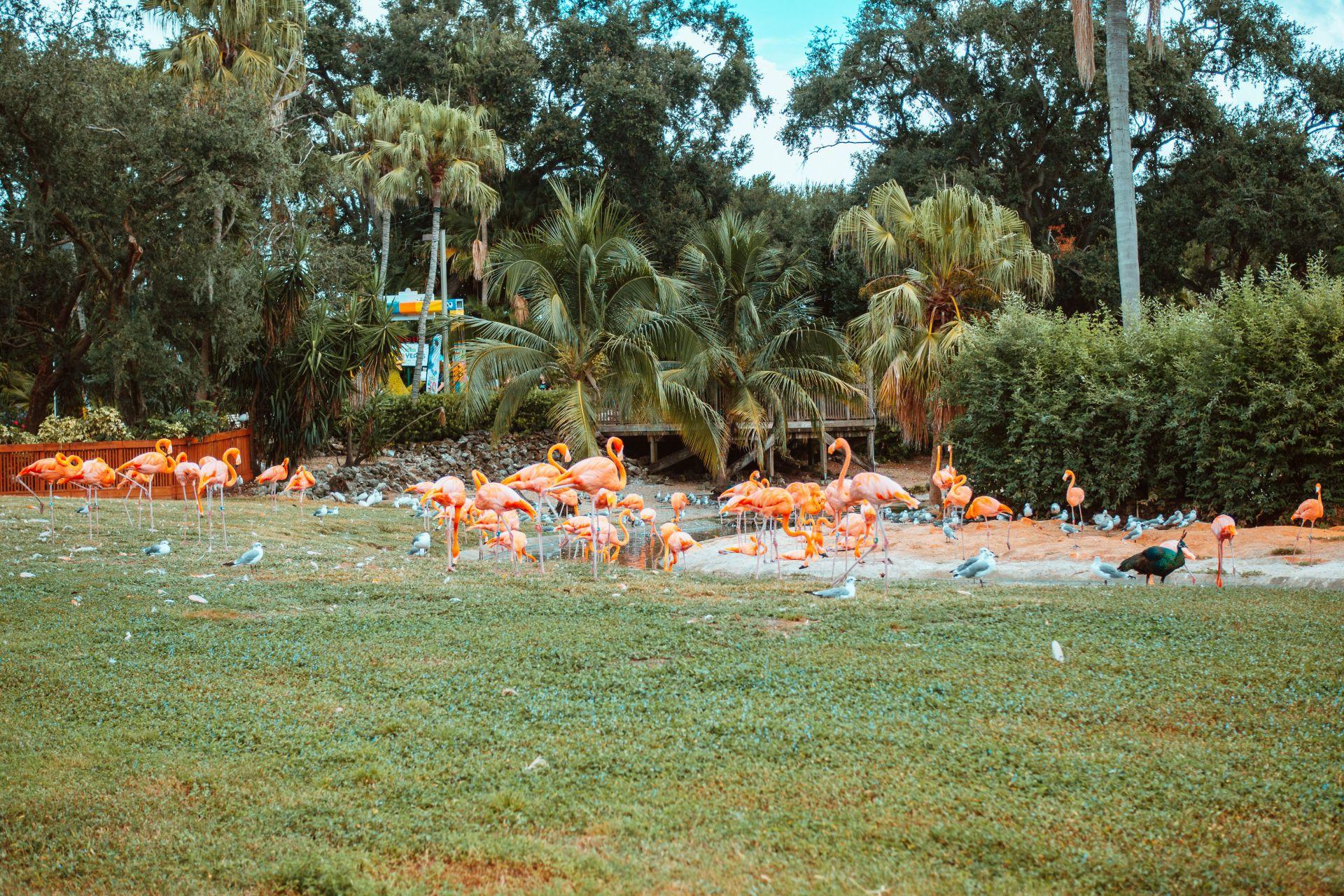 Busch Gardens Flamingos